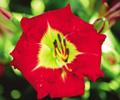 Купить лилейник Красный COMPLEMENTARY COLORS