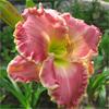 Купить лилейник Розовый COSENZA