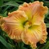 Купить лилейник Оранжевый SULTRY BREEZES