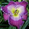 Купить лилейник Фиолетовый AZURE HOODED JAY