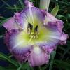 Купить лилейник Фиолетовый PURPLE HONEY CREEPER