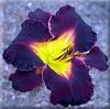 Купить лилейник Фиолетовый BLACK LAPIS