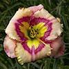 Купить лилейник Розовый AMBER RHUM