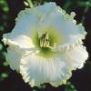 Купить лилейник 2004 MICHAEL MILLER