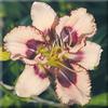 Купить лилейник Розовый SOUTHBOUND ODYSSEY