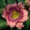 Купить лилейник Розовый BLACK  FATHOM DEPTHS
