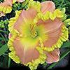 Купить лилейник Розовый ELVIS