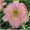Купить лилейник Розовый SARA MARTIN