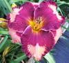 Купить лилейник Розовый VERMILION FLYCATCHER