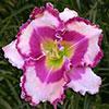 Купить лилейник Розовый FLAME ON