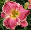 Купить лилейник Розовый ROBIN LEE
