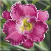 Купить лилейник Розовый HOLY WATER