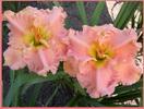 Купить лилейник Розовый OUR FRIEND OLIN
