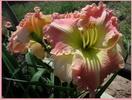 Купить лилейник Розовый MOUNT HERMAN SENSATION