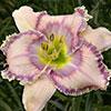 Купить лилейник Розовый CHASING VENUS