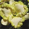 Купить лилейник 2007 LACY BORDER