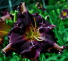 Купить лилейник Фиолетовый COIT TOWER