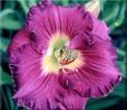 Купить лилейник Фиолетовый BARNEY