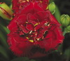 Купить лилейник 2007 RUBY CORSAGE