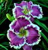 Купить лилейник Фиолетовый CUTTING LOOSE