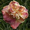 Купить лилейник Розовый SEDUCTIVE HIDEAWAY
