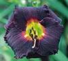 Купить лилейник Фиолетовый DAKAR