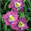 Купить лилейник Фиолетовый VIOLET VICTORY