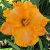 Купить лилейник Оранжевый PONKAN'S SOLAR FLARE