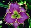 Купить лилейник Фиолетовый SPINY SEA URCHIN