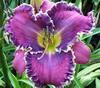 Купить лилейник Фиолетовый ART GALLERY WISDOM-TOOTH