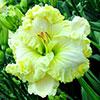 Купить лилейник 2012 GREAT WHITE DOVE