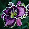 Купить лилейник Фиолетовый VOLARIS