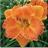 Купить лилейник Оранжевый FIRELIGHTER