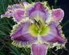 Купить лилейник Фиолетовый ART GALLERY SWEET TOOT