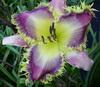 Купить лилейник Фиолетовый EYELASH VIPER