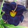 Купить лилейник 2010 BLACK FURY