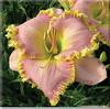 Купить лилейник Розовый FRANK'S ICY PINK