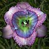 Купить лилейник 2013 BLUE CRUSH