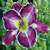 Купить лилейник Фиолетовый FOR LOIS