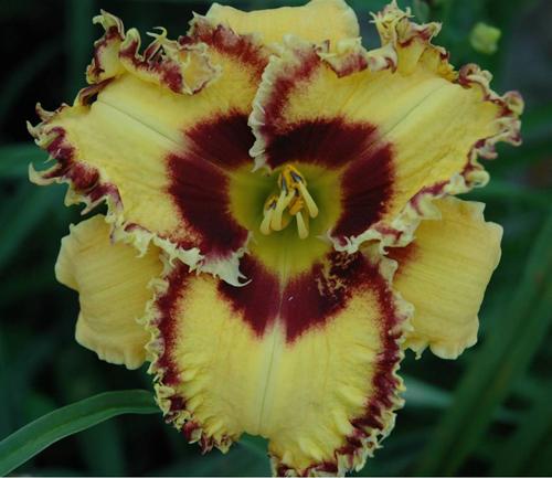Купить новые лилейники WICKEDLY WILD AND WONDERFUL