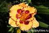 Купить лилейник BLONDE AMBITION Ted Petit